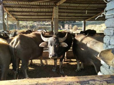 这是一张关于水牛 800-1000斤 统货的产品图片