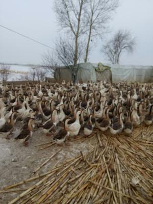 黑龙江省哈尔滨市五常市鲜鹅蛋 食用 散装