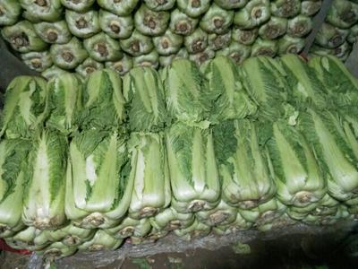 河北省唐山市滦南县北京三号大白菜 6~10斤 二毛菜