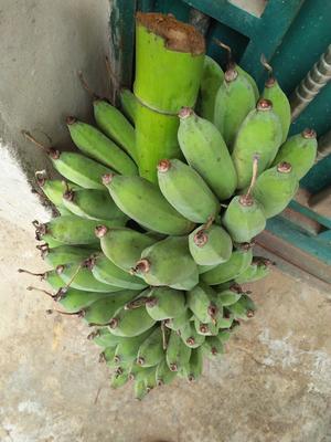 广西壮族自治区崇左市龙州县西贡蕉 八成熟 40斤以下