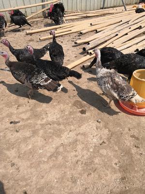 河南省商丘市永城市贝蒂纳火鸡 10-15斤