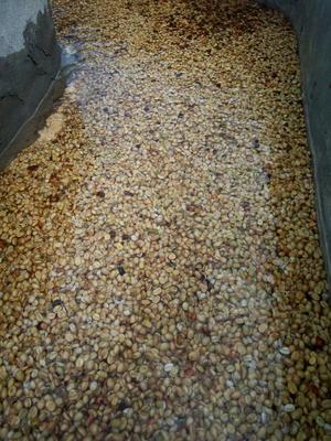 云南省普洱市宁洱哈尼族彝族自治县云南小粒咖啡豆