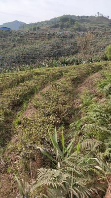 云南省西双版纳傣族自治州勐腊县易武山普洱茶 散装 一级