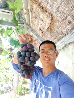 山东省青岛市莱西市巨峰葡萄 5%以下 1次果 0.4-0.6斤