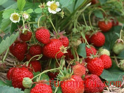 云南省昆明市呈贡区草莓种子