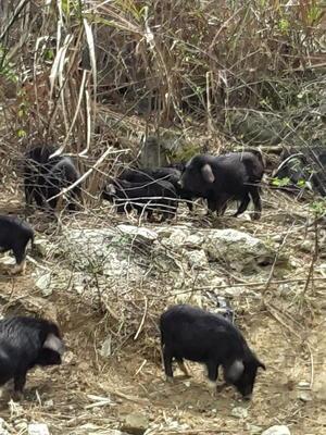 湖南省郴州市北湖区巴马香猪 20-40斤
