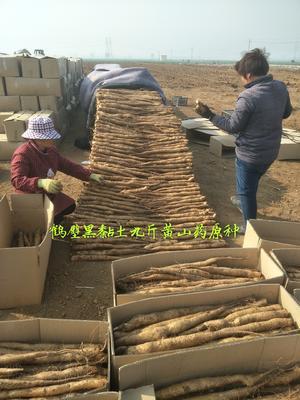 河南省鹤壁市淇滨区山药种子