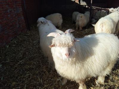 这是一张关于绒山羊 80-110斤的产品图片