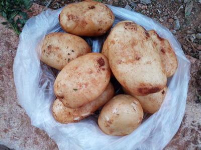 这是一张关于合作88号土豆 3两以上的产品图片
