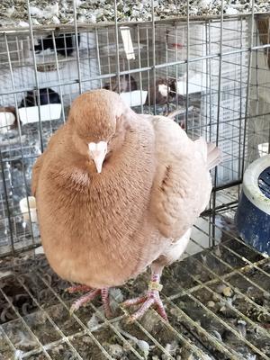 这是一张关于元宝鸽 1000-1200克 的产品图片