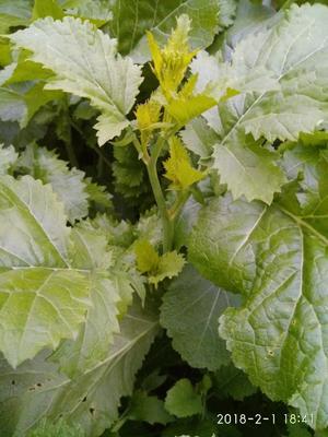 贵州省黔西南布依族苗族自治州安龙县油菜苔 1两以下