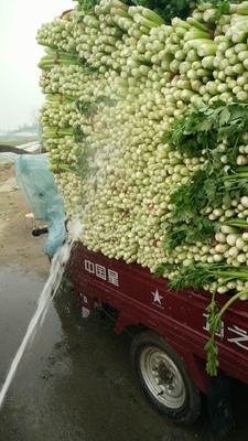 河南省郑州市中牟县法国皇后芹菜 55~60cm 大棚种植 0.5斤以下