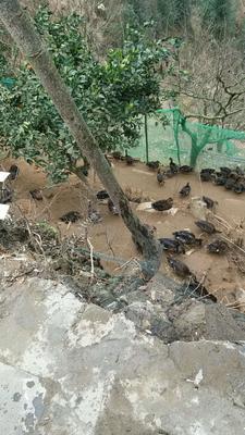 湖南省怀化市会同县绿头鸭 2-3斤