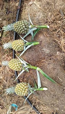 云南省红河哈尼族彝族自治州屏边苗族自治县河口菠萝 1 - 1.5斤