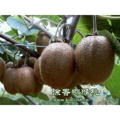 陕西省西安市周至县绿心猕猴桃 70~90克