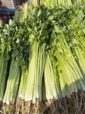 安徽省蚌埠市淮上区香芹 40~45cm 大棚种植 0.5~1.0斤