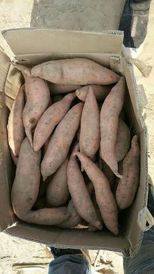 河北省廊坊市安次区烟薯25 红皮 8两~1.2斤