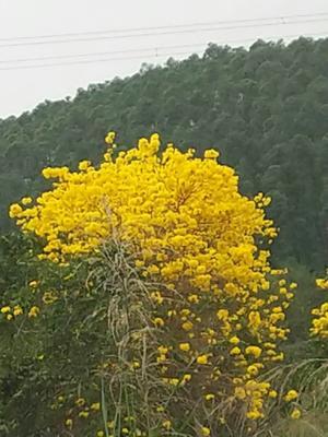 广西壮族自治区钦州市灵山县黄花风铃木