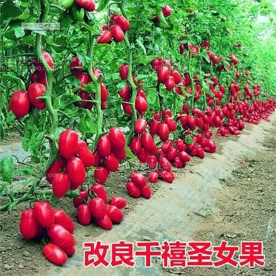 海南省海口市琼山区千禧圣女果 90% 原种(亲本)