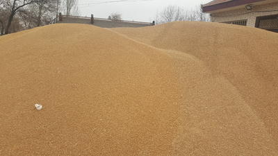 甘肃省庆阳市西峰区普通小麦