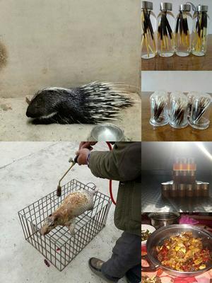 云南省昆明市东川区云南豪猪 20-30斤