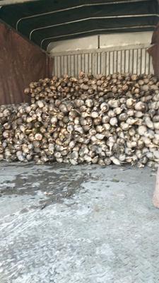这是一张关于洞庭湖藕 9-11cm 10~15cm的产品图片