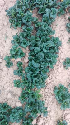 这是一张关于黑叶小白菜 10~15公分的产品图片