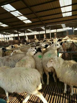 这是一张关于杜寒杂交羊 50-80斤的产品图片
