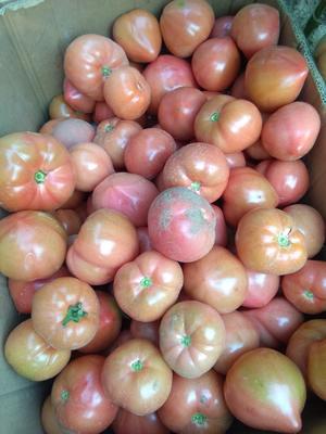 河北省唐山市滦南县草莓柿子 1 - 2两以上