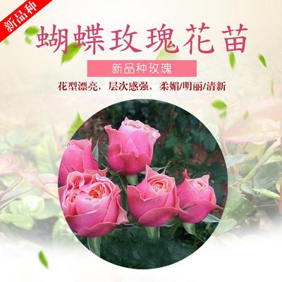 云南省昆明市呈贡区四季玫瑰蝴蝶苗