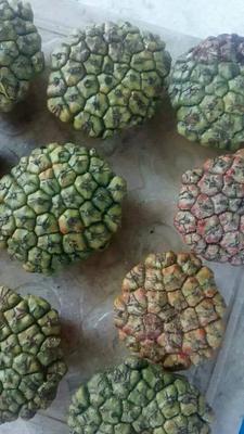 海南省陵水黎族自治县陵水黎族自治县野菠萝 4 - 5斤
