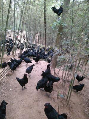 四川省乐山市市中区土乌鸡 4-5斤