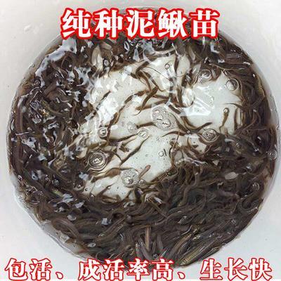 贵州省黔东南苗族侗族自治州镇远县台湾泥鳅 65尾/公斤 5-8cm 人工养殖
