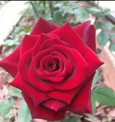 云南省保山市隆阳区红玫瑰