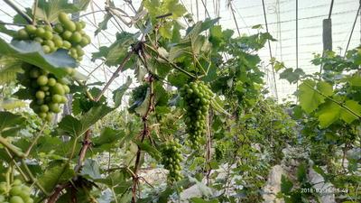 山东省济宁市梁山县亚洲香玫瑰葡萄 5%以下 1次果 1-1.5斤