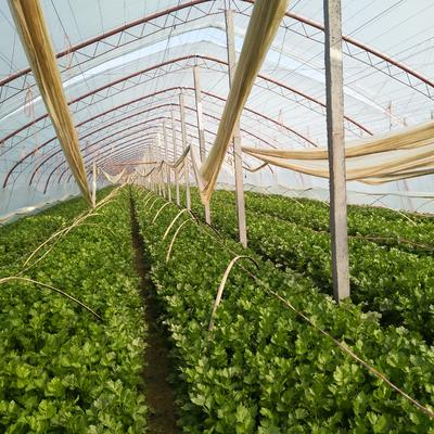 陕西省咸阳市三原县西芹 55~60cm 大棚种植 0.5~1.0斤