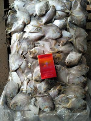 河北省秦皇岛市山海关区白鲳 野生 0.5公斤以下