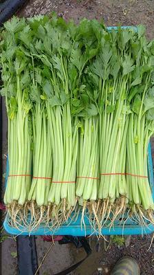 江苏省南通市港闸区法国皇后芹菜 45~50cm 大棚种植 0.5斤以下