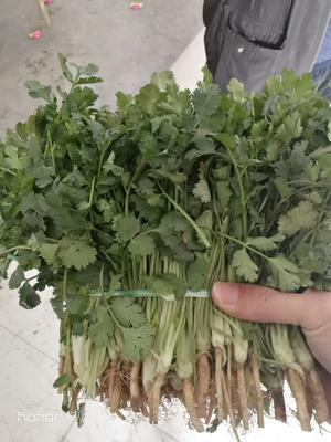 山东省济宁市金乡县大叶香菜 20~25cm