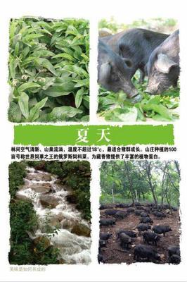 辽宁省大连市甘井子区藏香猪 100斤以上