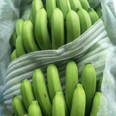 云南省普洱市江城哈尼族彝族自治县西双版纳香蕉 七成熟 60 - 70斤