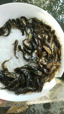 广东省广州市花都区池塘黄颡鱼 人工殖养 0.05龙8国际官网官方网站