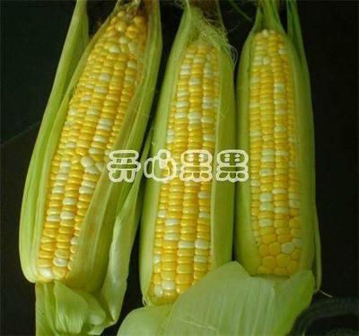 湖北省恩施土家族苗族自治州建始县水果玉米 黄粒 鲜货