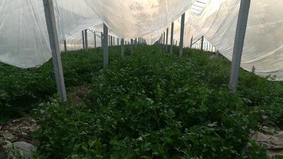 山东省济宁市邹城市山芹 40cm以下 大棚种植 0.5斤以下
