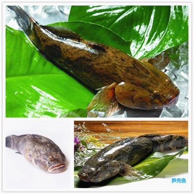 广东省珠海市斗门区笋壳鱼 人工养殖 1.5-2.5公斤