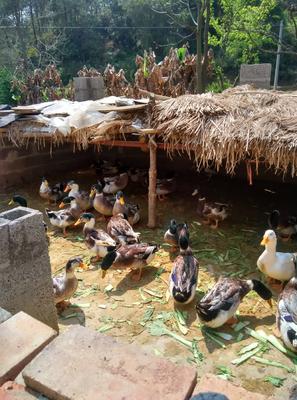 江西省赣州市大余县青头麻鸭 公 半圈养半散养 4-5斤