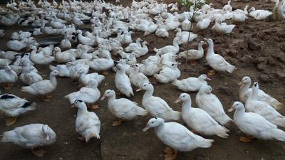 广西壮族自治区北海市合浦县肉鸭 统货 全圈养 7-8斤