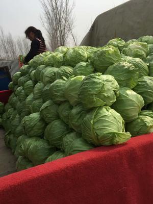 河北省衡水市饶阳县绿甘蓝 0.5~1.0斤