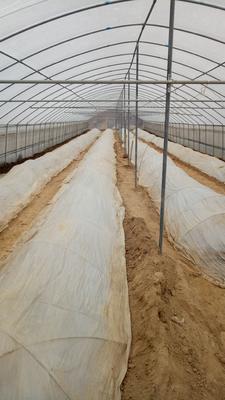 河南省商丘市睢阳区西瓜红红薯苗 25~35cm