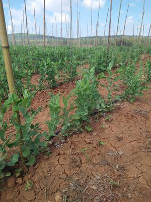 广东省广州市南沙区青豌豆 7-10cm 未饱满